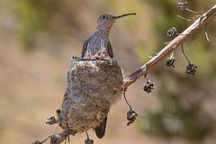 Picaflor Gigante (ik_kil) Tags: picaflorgigante gianthummingbird patagonagigas hummingbird tiltil regiónmetropolitana avesdechile birds nidada chile