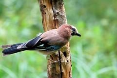 Jay (robin denton) Tags: jay bird naturereserve nature adeldam wildlife yorkshirewildlifetrust wildlifetrust marshhide
