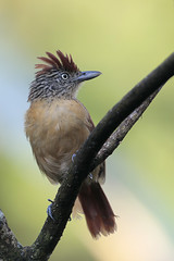 Barred Antshrike (Greg Lavaty Photography) Tags: barredantshrike thamnophilusdoliatus costarica october bird nature antbird wildlife female