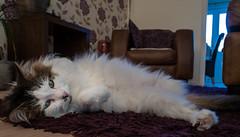 On the carpet (Tilly the 3-legged cat) (Olympus OM-D EM5II & Lumix 12-32mm Pancake Zoom) (1 of 1) (markdbaynham) Tags: tilly 3legged cat pet cute lumix 1232mm pancake zoom olympus feline omd em5 em5ii csc evil mirrorless lumixer oly mft m43 m43rd micro43 micro43rd