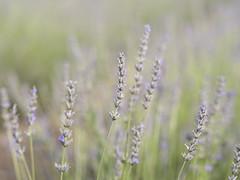 Lavender (Michael Zahra) Tags: lavender canada ontario farm nature travel tourism flower purple green macro 645z ricoh pentax mf mediumformat flowers colour color conservation ecology flora fauna
