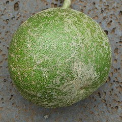 Anglų lietuvių žodynas. Žodis citrus maxima reiškia citrusinių augalų lietuviškai.