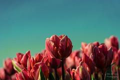 ND5_1941_Lr-edit (Alex-de-Haas) Tags: bloemenbijeenkomst dutch holland lowcountries nederland noordholland thenetherlands westfrieseomringdijk avond beautiful bloemen bloemenvelden colorful colors colourful colours evening flat flower flowerfields kleuren kleurrijk laagland landscape landschap lente licht light mooi nature natuur plat polder spring sun sunny tulipfields tulipa tulips tulpen tulpenvelden westfriesedijk zon zonnig