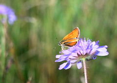 In the Summer Meadow (ursulamller900) Tags: dickkopffalter scabiose meadow pentacon28100 bokeh