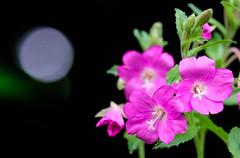 Resting moon (frankie.cooke@btinternet.com) Tags: flowers lilac purple moon bokeh ireland wildlife flaura fauna