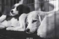 DSC07072-2 (Ansonless) Tags: dogs puppy cute blackandwhite eyes moment life cage sleeping sleepy