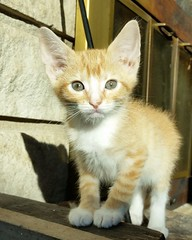 York (DDA1) Tags: saveapetilorg adoption adoptioncenter adoptionshelter adoptable adopt kitten foster