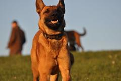 DSC_0778 (IN CANIS SPERAMUS) Tags: belgianshepherd malinois dog dogtraining puppy servicedog dogtrainer incanissperamus