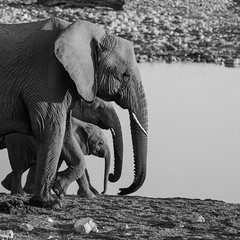 Elephants family (bambo_85) Tags: elephants family wilde waterhole okakuejo etosha namibia bw nature africa