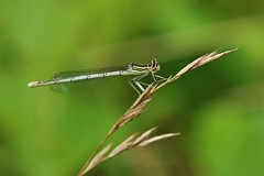 Libelle (Hugo von Schreck) Tags: hugovonschreck damselfly dragonfly libelle macro makro insect insekt outdoor canoneos5dsr tamron28300mmf3563divcpzda010 onlythebestofnature