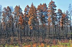 Burnt Burns Bog 16-0801-0645 (digitalmarbles) Tags: landscape summer smallaperture forest foliage fire burnt charred scorched trees trail nature bog burnsbog deltabc lowermainland bc britishcolumbia canada nikond300 nikon