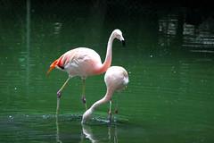 flamingos (THinLou) Tags: animals louisvillezoo