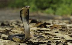 The Standoff (Elliot Pelling) Tags: cobra venomous monocled naja kaouthia asia thailand krabi southeast defensive 100mm canon macro hood hooded