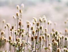 Teasel (billd_48) Tags: ohio summer plants teaslethewilds cumberland oh usa