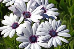 IMG_6980a (judyflo1) Tags: flowers macro daisy africandaisy