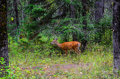 Deer Roaming Glacier National (dbking2162) Tags: deer wildlife whitetail glaciernational nationalparks animal montana mountains forest outside outdoor