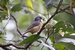 IMG_9427 (Dan Armbrust) Tags: armbrust danarmbrust queensland australia australianbirds rufouswhistler julatten 7d
