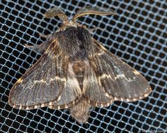 Hallakehrj (Poecilocampa populi), December moth (pohjoma) Tags: hallakehrj hynteinen kehrj perhonen poecilocampapopuli decembermoth animal canoneos5dmarkiii canonef100mmf28lmacroisusm macrotwinlitemt24ex