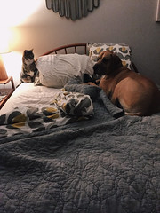 265/366 (moke076) Tags: 2016 365 366 project366 project 365project project365 oneaday photoaday vsco vscocam cell cellphone iphone mobile dog cat moose tommy grey gray tabby fawn great dane pet bed bedroom bedtime sleep night lamp