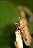 Caddis Fly (DebbieH82) Tags: 021016messingham canon7dmkii canon10040mkiilens caddisfly