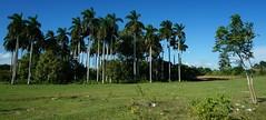 Palmas Mangos y Ceibas en Vega de Palma, Camajuani (ROGALI) Tags: cuba ceibas campo mangos palmas camajuani vegadepalma