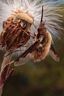 Large bee-fly (Wolzwever)
