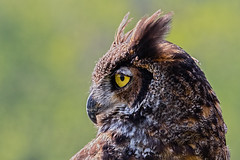 "Great Horned Owl (kevinm66 (aka ""The Bird Whisperer"")) Tags: ngc npc"