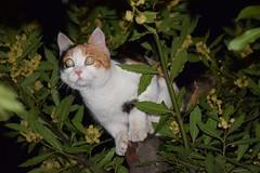 Feline night (zuul72) Tags: felino gatto notte hunt caccia alloro