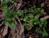 Leptinella filicula, Devils Hole Lookout, Barrington Tops National Park, NSW, 07/02/15 (Russell Cumming) Tags: plant newsouthwales asteraceae muswellbrook leptinella barringtontopsnationalpark devilsholelookout leptinellafilicula
