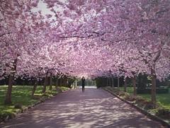 Pink Galore (Anne sterby) Tags: pink trees shadow tree nature copenhagen cherry spring fuji shadows blossom trer natur tr cherryblossom sakura nordvest forr skygge skygger lysrd fujixt1
