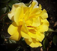 Profile in Yellow (MissyPenny) Tags: flower rose yellow garden pennsylvania pdlaich