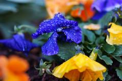 Spring colors of 2015 -5 (Z!SL) Tags: nyc newyorkcity flowers blue newyork nature brooklyn spring dof bokeh sony depthoffield bokehwhores bokehwhore sonyphotographing minoltaemount sel50f18 nex5r