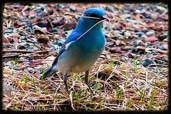 Nicole Swoboda - Busy bluebird