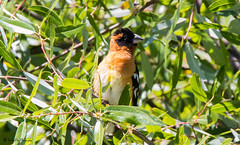 Black-Headed Grosbeak (trinstanprep) Tags: california lake bird sports america canon butterfly photography bay high raw zoom bokeh wildlife awesome birding parks insects sharp clear telephoto area shutter resolution marsh manual adventures grosbeak tamron lenses autofocus cmos blackheaded 70d 150600mm