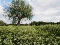 Grantchester Meadows (davepickettphotographer) Tags: uk travel cambridge summer white tourism river photography cow weeds unitedkingdom walk cam meadow olympus parsley cambridgeshire em1 grantchester olympuscamera