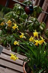 Spring balcony (dididumm) Tags: flowers yellow spring purple balcony balkon blumen lila gelb daffodil frühling muscari narzisse grapehyacinth osterglocke traubenhyazinthe