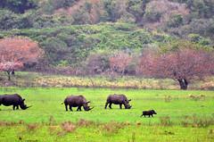 (Pepix2007) Tags: africa trees paisajes verde green meadow colores rhinos prado wildanimals áfrica animalessalvajes sudáfrica africanlandscape rinocerontes holidaysvacanzeurlaub paisajeafricano