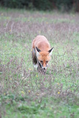 Red Fox {Vulpes vulpes} - Willoughby Fields (Danny's Nature) Tags: england fish west flower london nature birds animals sussex countryside kent high spiders wildlife south insects hampshire bugs east trust amphibians mammals horsham gatwick reptiles crawley wealds