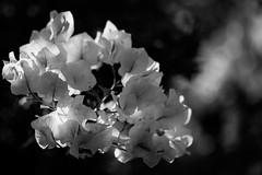 Bourganvillea (Greta Powell) Tags: flowers light bw sunlight macro canon garden dark walking whiteflower flora flickr