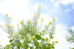 blue sky and yellow flowers/ (kurupa_m) Tags: blue summer plant flower yellow hokkaido      xt10