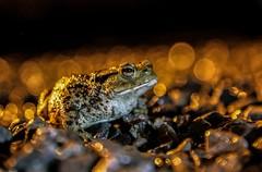 BWPA - Shortlisted image - Bokeh toad, Ian Wade (Disorganised Photographer - Ian Wade - Travel, Wil) Tags: nature ian photography wildlife british wade awards