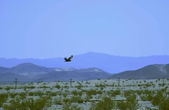 Las Vegas (jaffa600) Tags: unitedstates unitedstatesofamerica usa nevada lasvegas vegas sincity thesilverstate thesilvercity mojavedesert mojave desert birds