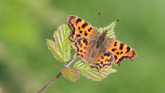 Comma Butterfly (Happy snappy nature) Tags: commabutterfly beautiful colourful vibrant insect nature wildlife oakengateswoods shropshire canon6d sigma150f28 closeup