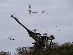23_07_2016_1189 (andysuttonphotography) Tags: herring gulls old cannon steep holm military war fort gun emplacement bird larus argentatus birds