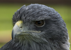 A Grey Eagle (ORIONSM) Tags: grey eagle prey raptor bird portrait eyes beak pentaxk3 sigma150500
