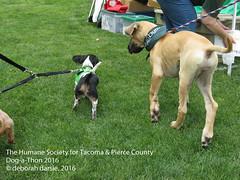DAT2016_Crowd_1136 (greytoes_99) Tags: agility dat2015 dat2016 event humanesocietytacoma people summer tacoma tacomahs volunteers dog humananimalbond cat lakewood wa us