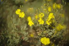 Pure yellow (Capturedbyhunter) Tags: fernando caador marques fajarda coruche ribatejo santarm portugal pentax k1 auto rikenon 114 55mm mato branco bokeh manual focus focagem foco outdoor