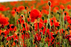 Poppies on Ditchling Beacon (Puckpics) Tags: charlespucklehotmailcom charlesrtpuckle puckle charlespuckle allrightsreserved poppies cornflowers july 2016 ditchlingbeacon