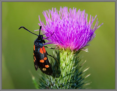 Sint-Jansvlinder of Zygaena filipendulae (Erik v Hassel) Tags: haps erikhaps nikon d5100 nederland holland dutch beautiful fraai excellent flickr view splendid beauty best wonderful fantastic awesome stunning incredible magic nice perfect photo image shot foto lovely