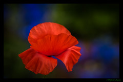 A Poppy flaps in the wind (Different Aspects) Tags: poppy red flower orange